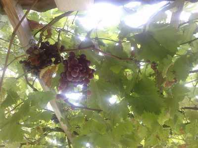 Les producteurs - Traitement olivier bouillie bordelaise ...